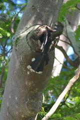 Entebbe, Uganda - Entebbe Botanical Gardens - Crowned Hornbill at Nest