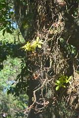 Entebbe, Uganda - Entebbe Botanical Gardens - Cannonball Tree (3)
