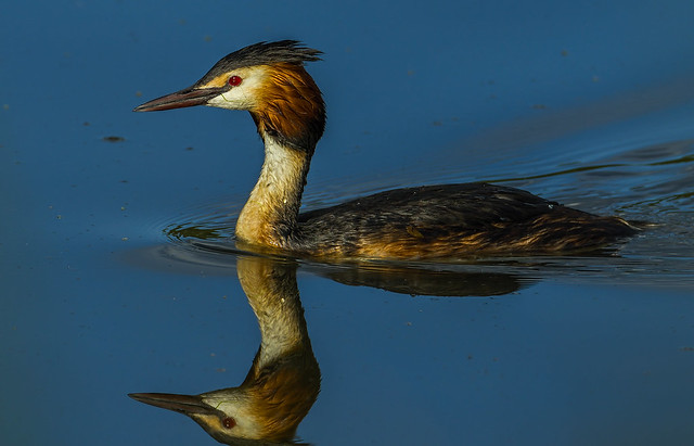 Great crested grebe  3 - female