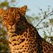 Leopard (Helen Pinchin)