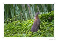 Clara Bunny
