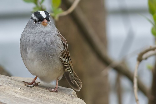 Bruant A Couronne Blanche / White-Crowned Sparrow
