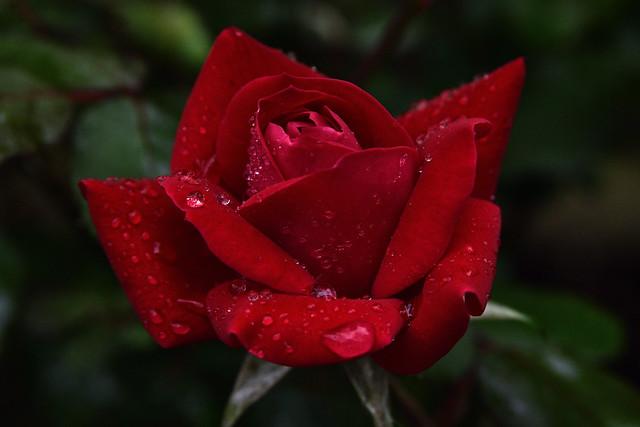Raindrop Red Rose, Nikon D810, AF Zoom-Nikkor 28-105mm f/3.5-4.5D IF