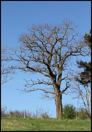 Fraxinus excelsior - frêne élevé, frêne commun 34406983945_a0cf0cc62d