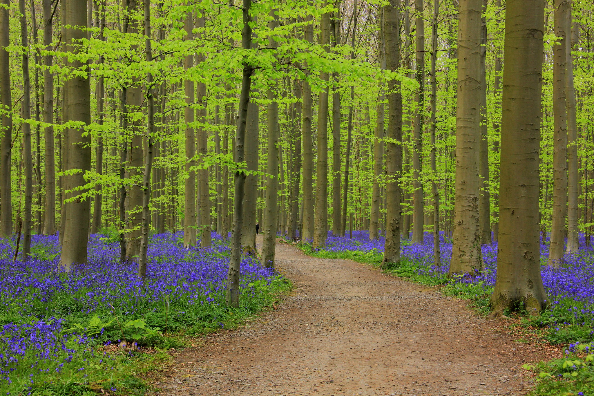 best photos of hallerbos blue forest is through the beech trees