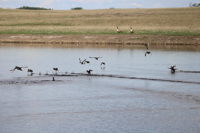 A semi-permanent with several flushing ducks on the Coronation air-ground transect. Photo credit: Elizabeth Beck