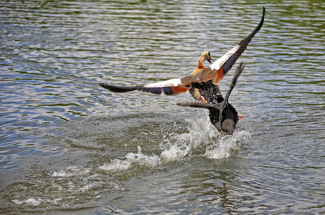 A little Coot is trying to cast out a much bigger Egyptian Goose, 2 of 5