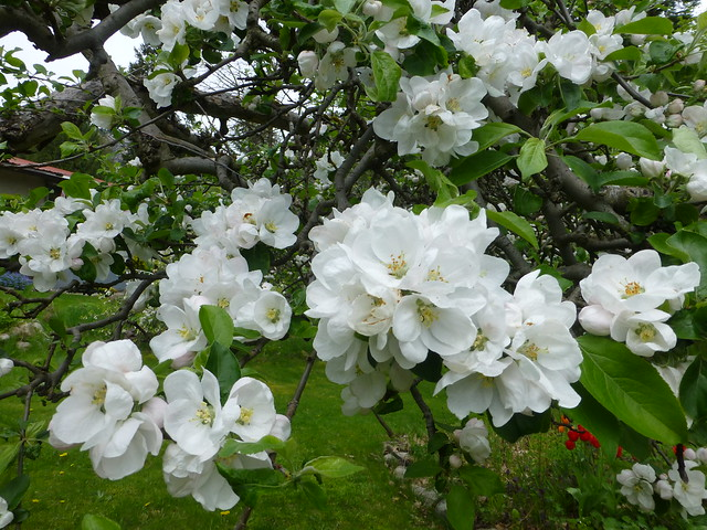Apple Blossoms, Panasonic DMC-ZS20