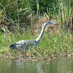 Heron in Haslam Park Preston