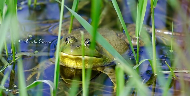 Bullfrog, Canon EOS 5DS R, Canon EF 800mm f/5.6L IS