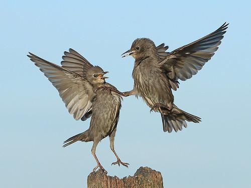 Juvenile Starlings having a dispute.