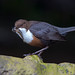 Dipper by Simon Stobart - Back But Way Behind