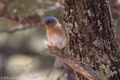 Eastern Bluebird (male) | Reef Townsite CG | Carr Canyon | Sierra Vista | AZ|2017-04-30|11-20-08.jpg