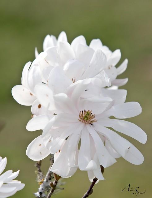 Magnolia étoilé, Canon EOS 600D, Canon EF 70-200mm f/2.8 L