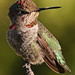 Anna's Humminbird (Jon Isaacs)