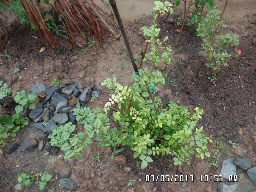 Hồng ngoại Shepherdess Rose cây giống mới mua về trồng tại vườn