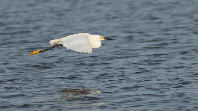 Assateague Snowy Egret in Flight