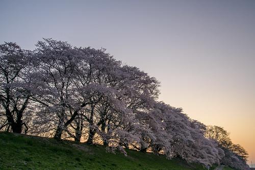 japan kyoto 背割堤 淀川 川 river 星景 starscape cherry 桜 日の出 sunrise