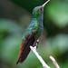 Rufous-tailed Hummingbird (Tarina Hill)