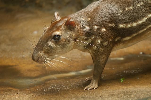 Cuniculus paca - Lowland Paca