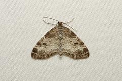 Lobophora nivigerata (Powdered Bigwith Moth) - Hodges # 7640 - Everett, WA