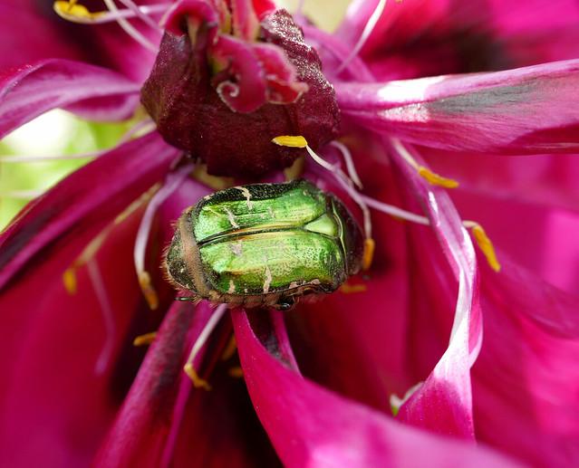 Iridescent green beetle in, Panasonic DMC-ZS100