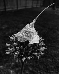 #backyardart Elvin Flower.  #🌱 #texas #🌸 #garland #dallas #burbs #bw #nature