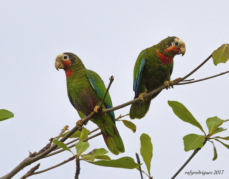 Cuban Parrot-Rose-throated Parrot-Amazona leucocephala-