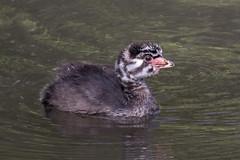 Pied-billed Grebe chick