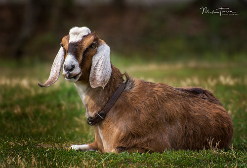 Sandburg Goat