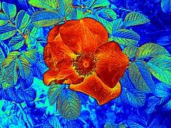 Wild Dune Rose02