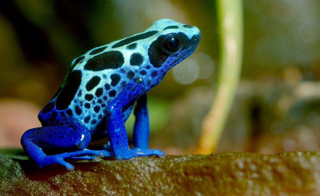Poison Dart Frog_1