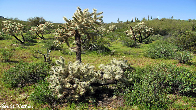 Cholla Forest at Lost Dutchman State Park