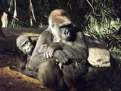 Nasce terceiro filhote de gorilas da América do Sul em BH