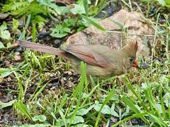 Cardinal eating a cicada
