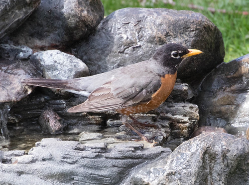 American Robin in my bird bath