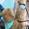 予防接種待ち… #ゴールデンレトリバー #ごーるでんれとりばー #大型犬のいる生活 #予防接種 #動物病院 #goldenretriever #dogs #dogslife #vaccine #vetrinary #stay