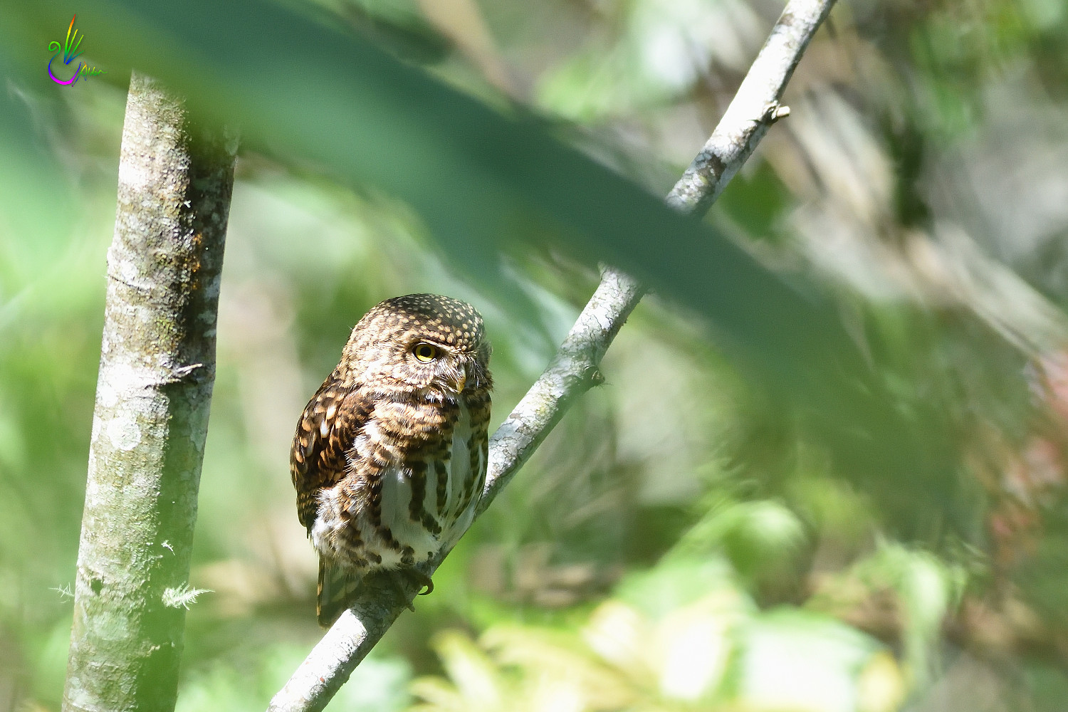 Collared_Pigmy_Owlet_4153
