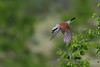 Red-backed Shrike (15)