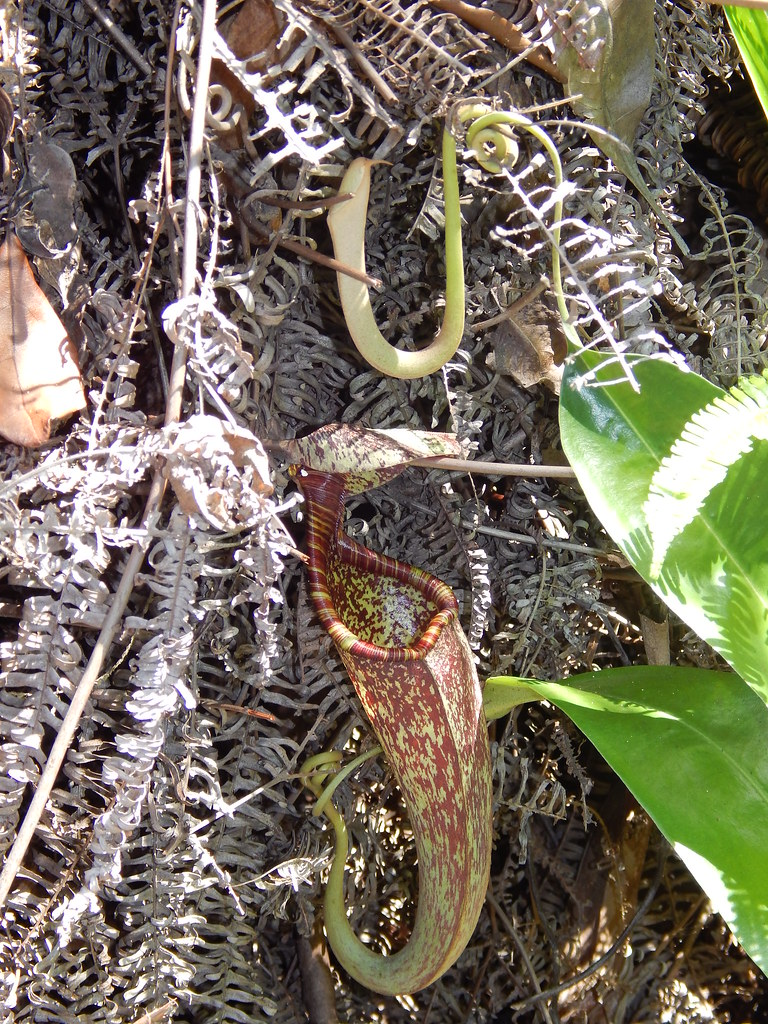 Nepenthes rafflesiana (Raffles' pitcher plant); upper pitcher; Sentosa Island, Singapore