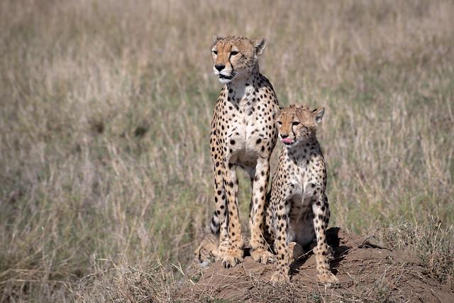 The Cheetah of the Serengeti Plains