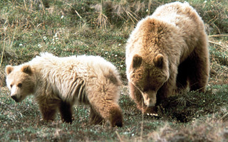 The Flathead River system is prime grizzly bear habitat.