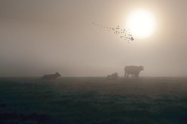 Rinder zählen im Morgennebel - ein lärmender Gänseschwarm fliegt vorbei; Bergenhusen, Stapelholm (40a)