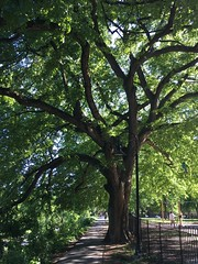 Elm cathedral: majestic tree in Rose Park, Georgetown, Washington, D.C.