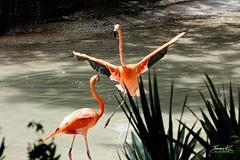Male Flamingo's