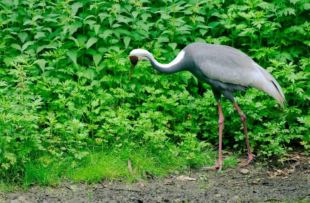 White Naped Crane