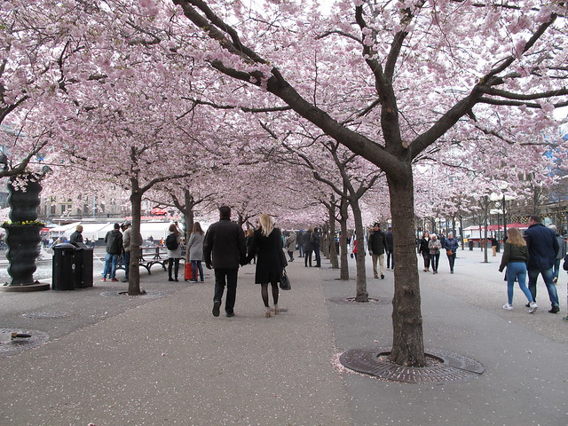 saturday, the cherry blossoms in kungsträdgården, stockholm