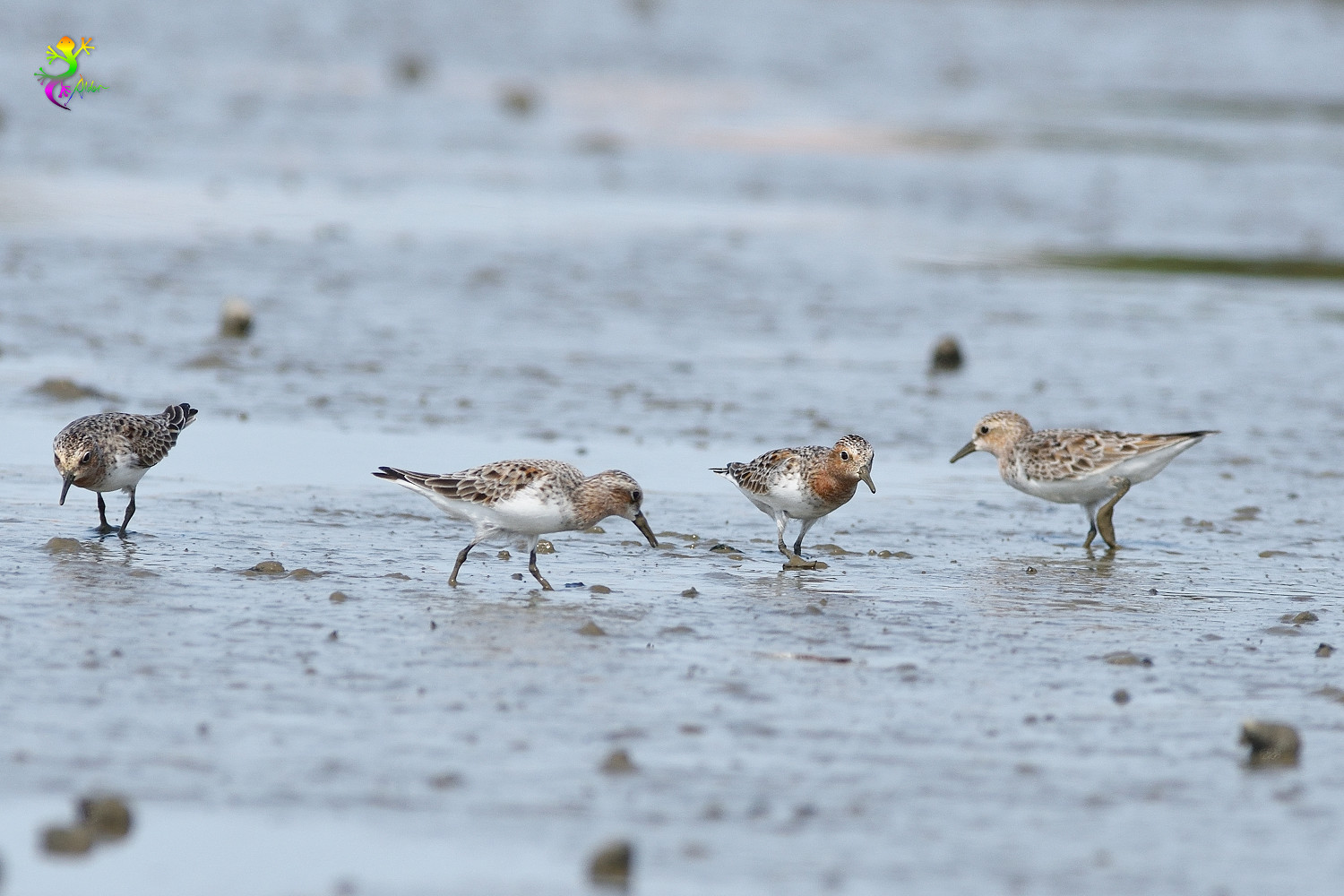Red-necked_Stint_5385