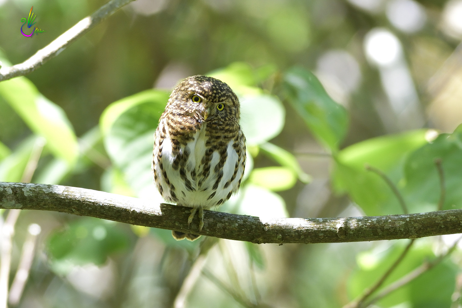 Collared_Pigmy_Owlet_4350