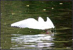 Take-off  Black headed Gull